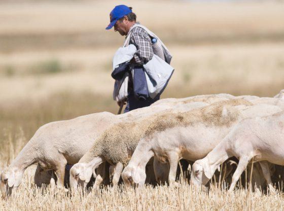 pastor de ovejas